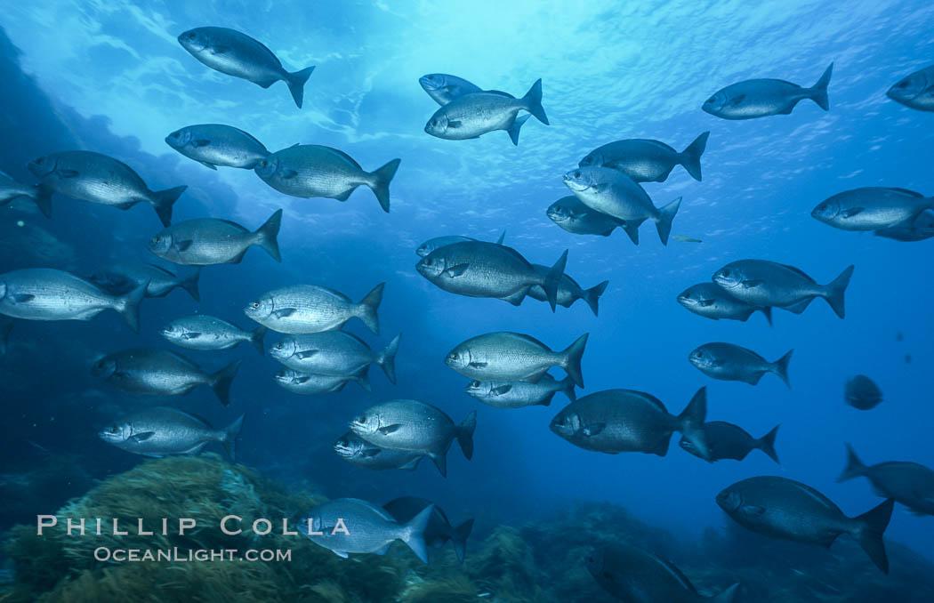 Cortez chubb. Guadalupe Island (Isla Guadalupe), Baja California, Mexico, Kyphosus elegans, natural history stock photograph, photo id 06183