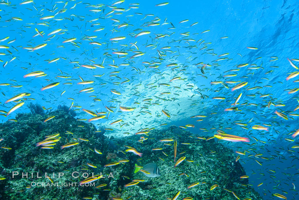 Cortez rainbow wrasse schooling over reef in mating display. Los Islotes, Baja California, Mexico, natural history stock photograph, photo id 32576