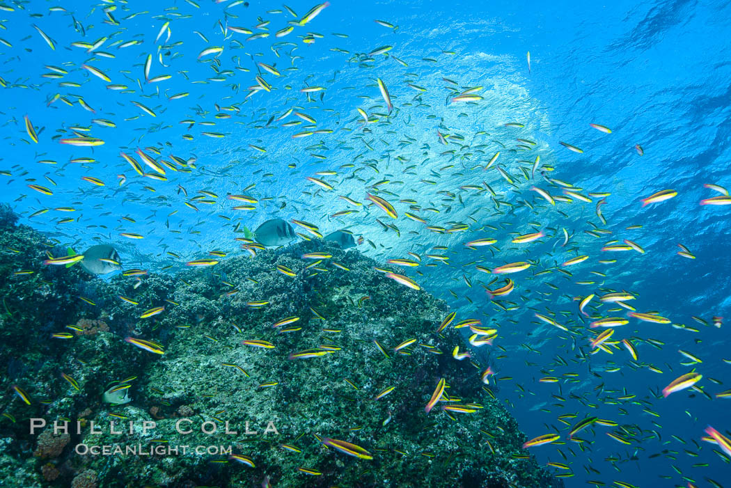 Cortez rainbow wrasse schooling over reef in mating display. Los Islotes, Baja California, Mexico, natural history stock photograph, photo id 32577