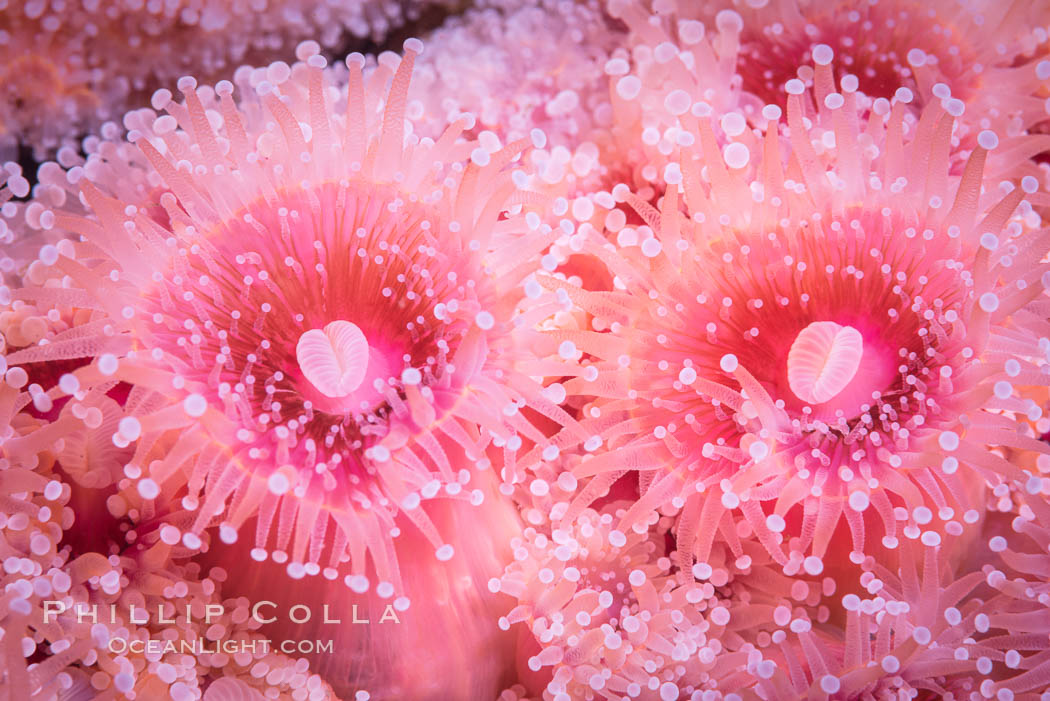 A corynactis anemone polyp, Corynactis californica is a corallimorph found in genetically identical clusters, club-tipped anemone. San Diego, California, USA, Corynactis californica, natural history stock photograph, photo id 33456