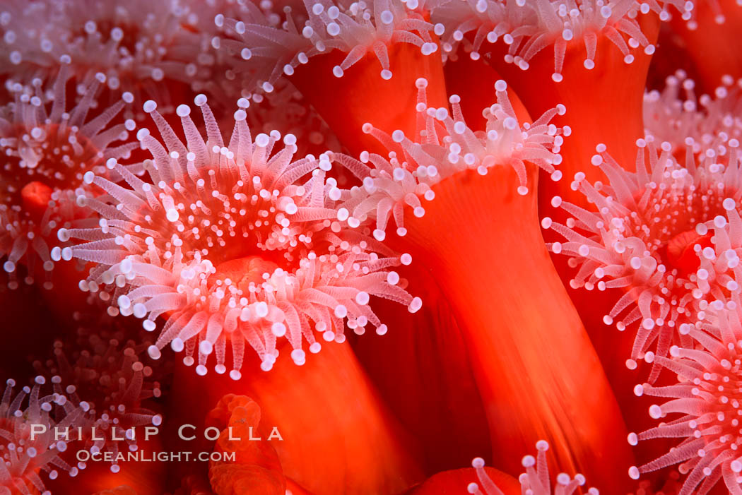 Corynactis anemone polyp, a corallimorph,  extends its arms into passing ocean currents to catch food. San Diego, California, USA, Corynactis californica, natural history stock photograph, photo id 33479