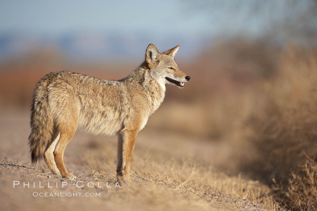 Coyote, pausing to look for prey as it passes through Bosque del Apache National Wildlife Refuge. Bosque del Apache National Wildlife Refuge, Socorro, New Mexico, USA, Canis latrans, natural history stock photograph, photo id 21875