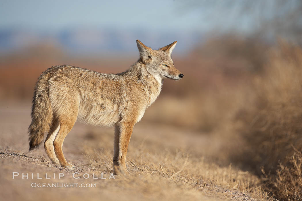 Coyote, pausing to look for prey as it passes through Bosque del Apache National Wildlife Refuge. Bosque del Apache National Wildlife Refuge, Socorro, New Mexico, USA, Canis latrans, natural history stock photograph, photo id 22035