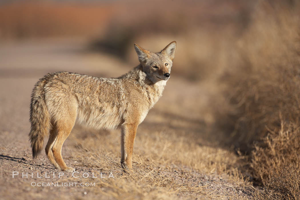 Coyote, pausing to look for prey as it passes through Bosque del Apache National Wildlife Refuge. Bosque del Apache National Wildlife Refuge, Socorro, New Mexico, USA, Canis latrans, natural history stock photograph, photo id 21973