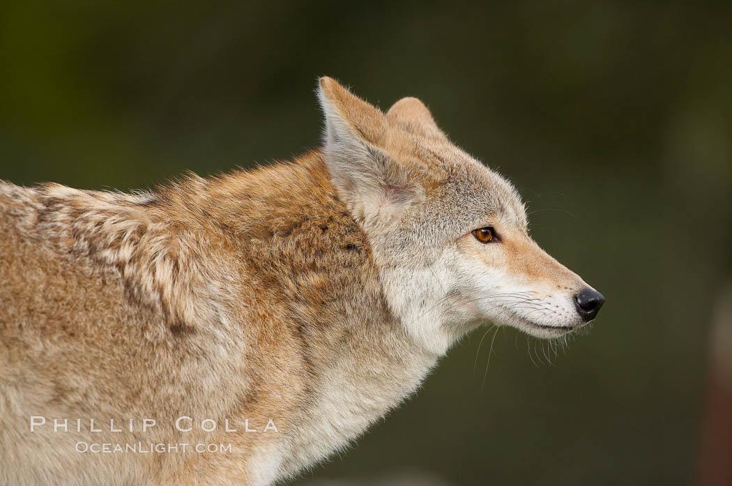 Image 15870, Coyote, Sierra Nevada foothills, Mariposa, California., Canis latrans