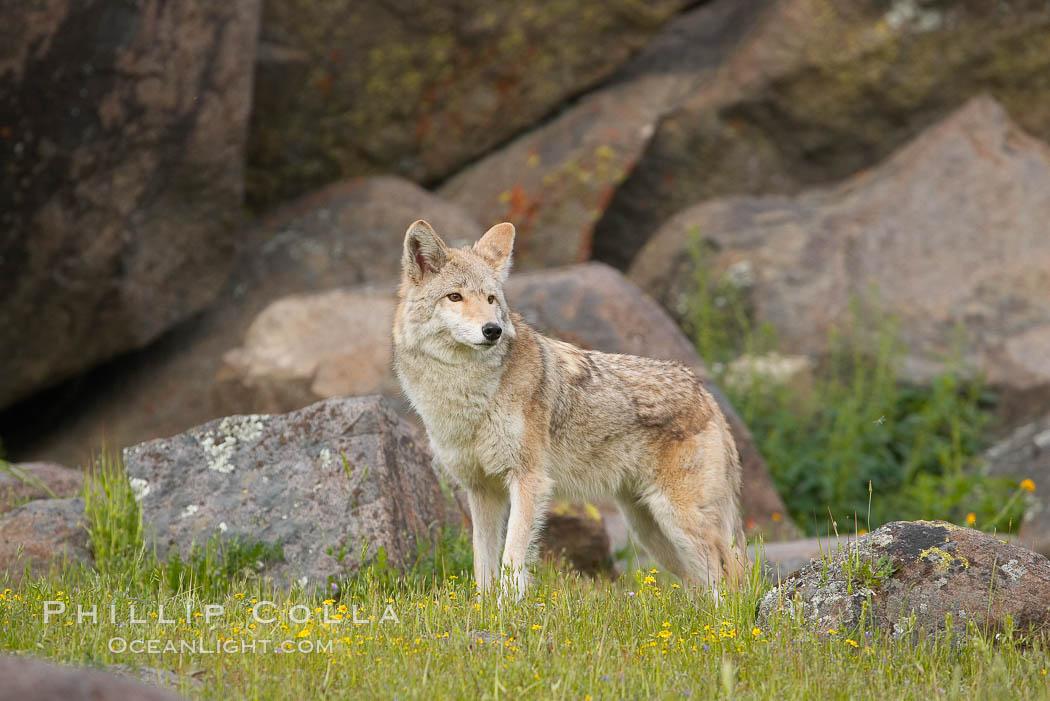 Coyote, Sierra Nevada foothills, Mariposa, California., Canis latrans, natural history stock photograph, photo id 15878