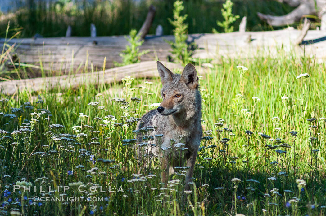 A coyote hunts through grass for small rodents.  Heron Pond. Heron Pond, Grand Teton National Park, Wyoming, USA, Canis latrans, natural history stock photograph, photo id 07335