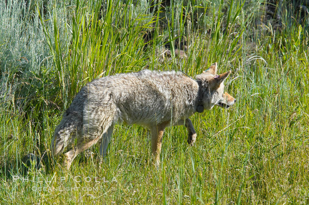 Coyote, Lamar Valley.  This coyote bears not only a radio tracking collar, so researchers can follow its daily movements, but also a small green tag on its left ear. Lamar Valley, Yellowstone National Park, Wyoming, USA, Canis latrans, natural history stock photograph, photo id 13092
