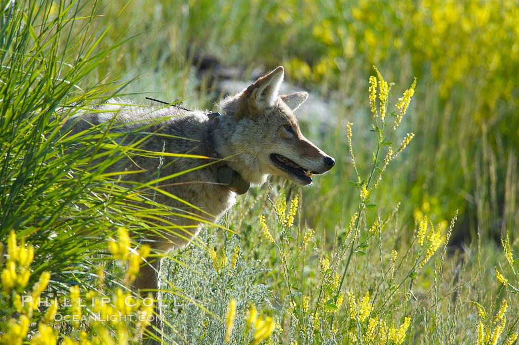 Coyote, Lamar Valley.  This coyote bears not only a radio tracking collar, so researchers can follow its daily movements, but also a small green tag on its left ear. Lamar Valley, Yellowstone National Park, Wyoming, USA, Canis latrans, natural history stock photograph, photo id 13095