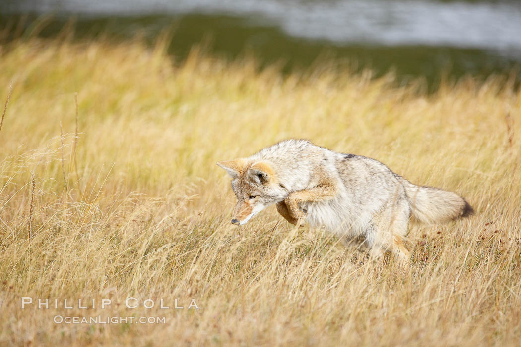 A coyote hunts for voles in tall grass, autumn. Yellowstone National Park, Wyoming, USA, Canis latrans, natural history stock photograph, photo id 19638