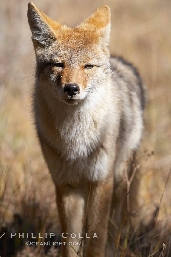 Coyote. Yellowstone National Park, Wyoming, USA, Canis latrans, natural history stock photograph, photo id 19676