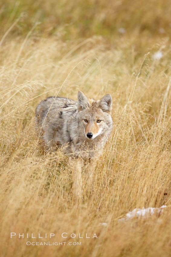 A coyote hunts for voles in tall grass, autumn. Yellowstone National Park, Wyoming, USA, Canis latrans, natural history stock photograph, photo id 19677