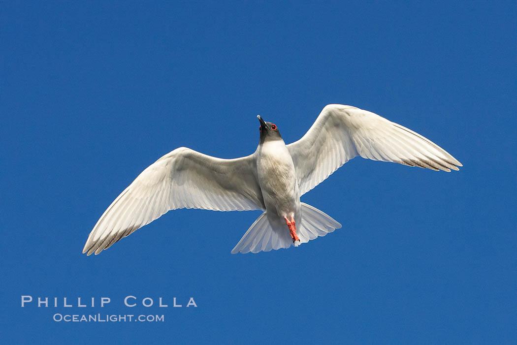 Swallow-tailed gull. Wolf Island, Galapagos Islands, Ecuador, Creagrus furcata, natural history stock photograph, photo id 16594