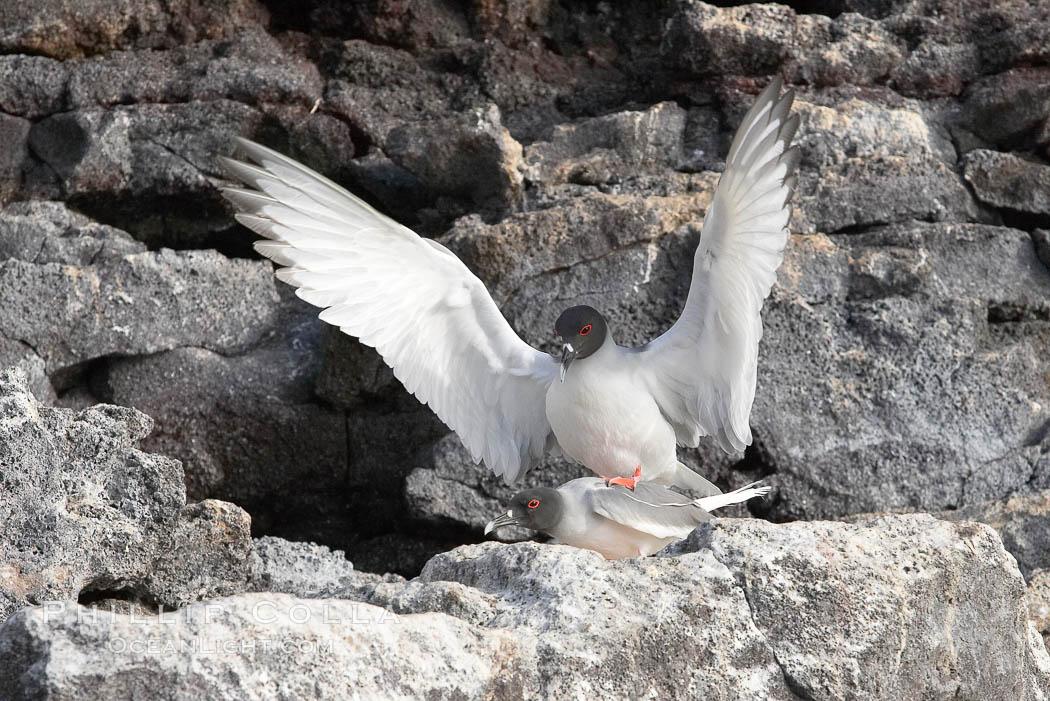 Swallow-tailed gull, mating, male on top, female just visible below. Wolf Island, Galapagos Islands, Ecuador, Creagrus furcata, natural history stock photograph, photo id 16600