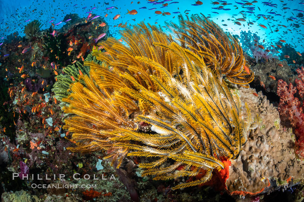 Crinoid (feather star) extends its tentacles into ocean currents, on pristine south pacific coral reef, Fiji, Crinoidea, Vatu I Ra Passage, Bligh Waters, Viti Levu Island