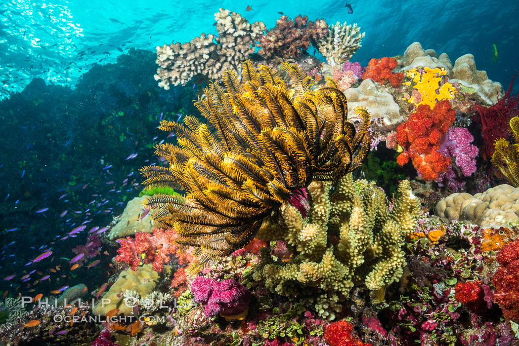 Crinoid (feather star) extends its tentacles into ocean currents, on pristine south pacific coral reef, Fiji. Namena Marine Reserve, Namena Island, Fiji, Crinoidea, natural history stock photograph, photo id 31596