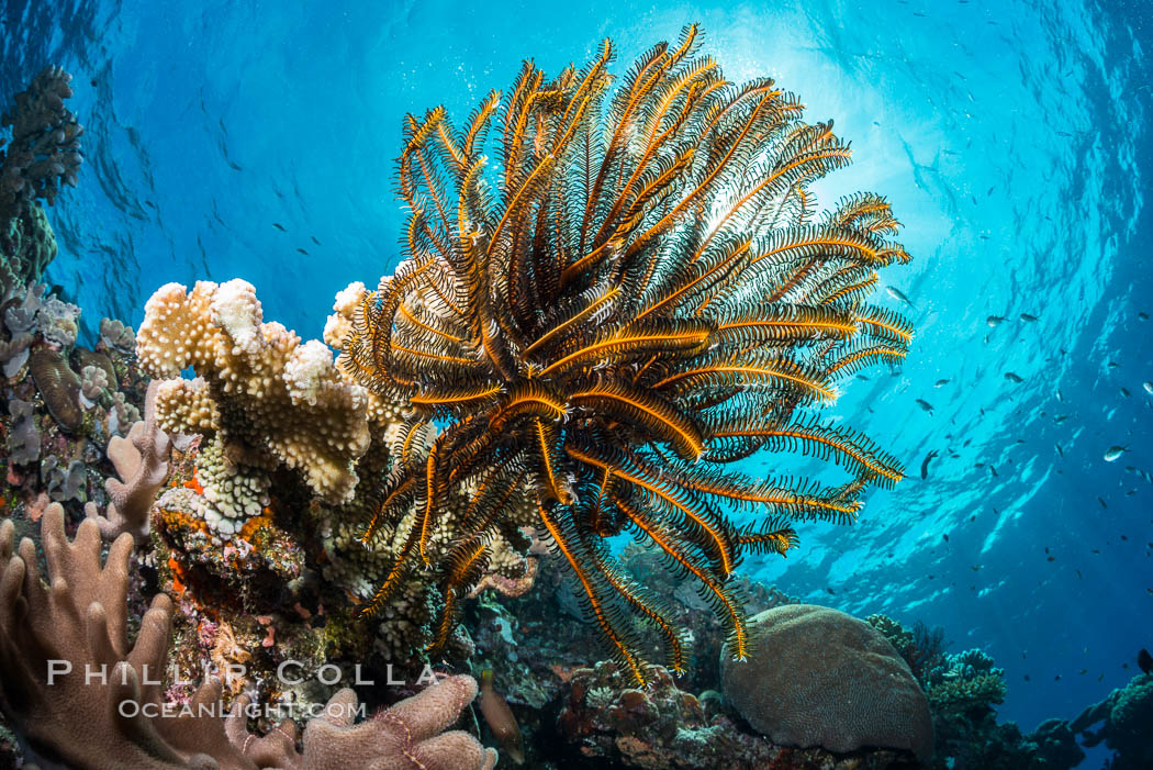 Crinoid (feather star) extends its tentacles into ocean currents, on pristine south pacific coral reef, Fiji. Vatu I Ra Passage, Bligh Waters, Viti Levu  Island, Crinoidea, natural history stock photograph, photo id 31317