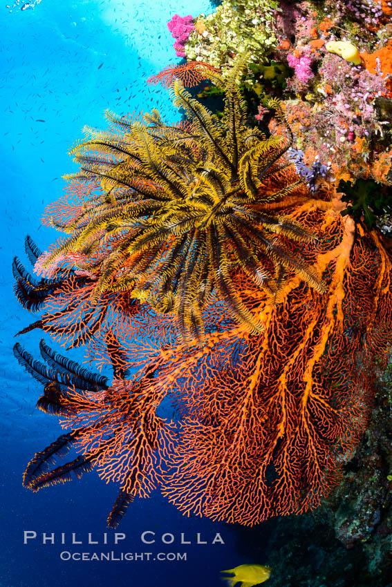 Crinoid clinging to gorgonian sea fan, Fiji. Fiji, Crinoidea, Gorgonacea, Plexauridae, natural history stock photograph, photo id 31445