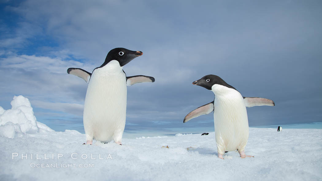 Image 25050, Two Adelie penguins, holding their wings out, standing on an iceberg. Paulet Island, Antarctic Peninsula, Antarctica, Pygoscelis adeliae, Phillip Colla, all rights reserved worldwide. Keywords: adeliae, adelie, adelie penguin, animal, animalia, antarctic peninsula, antarctica, aves, berg, bird, brush-tailed penguin, chordata, cold, frozen, ice, ice berg, iceberg, oceans, paulet island, penguin, pygoscelis, pygoscelis adeliae, sea bird, seabird, southern ocean, spheniscidae, sphenisciformes, vertebrata, vertebrate, water, wildlife.