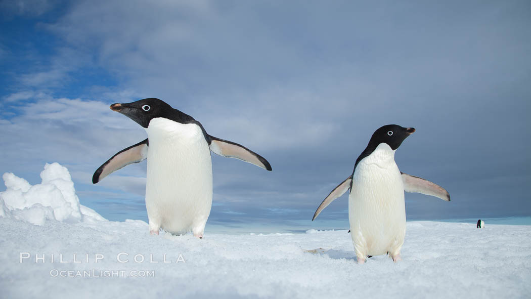 Two Adelie penguins, holding their wings out, standing on an iceberg. Paulet Island, Antarctic Peninsula, Antarctica, Pygoscelis adeliae, natural history stock photograph, photo id 25049