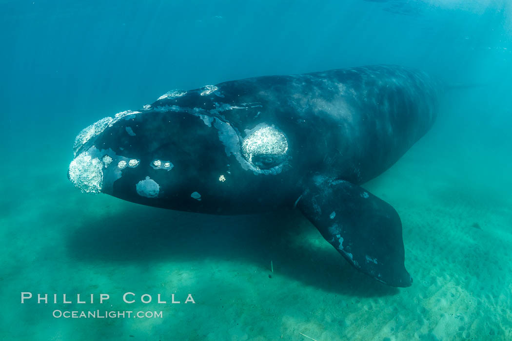 Inquisitive southern right whale underwater, Eubalaena australis, closely approaches cameraman, Argentina. Puerto Piramides, Chubut, Eubalaena australis, natural history stock photograph, photo id 35954