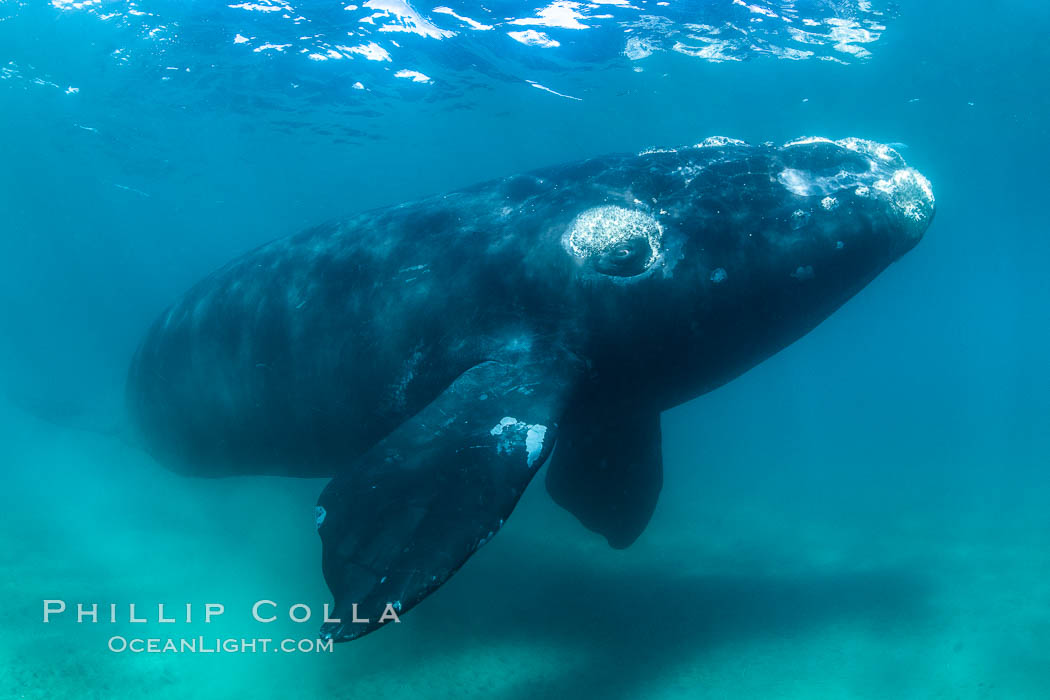 Inquisitive southern right whale underwater, Eubalaena australis, closely approaches cameraman, Argentina. Puerto Piramides, Chubut, Eubalaena australis, natural history stock photograph, photo id 35943