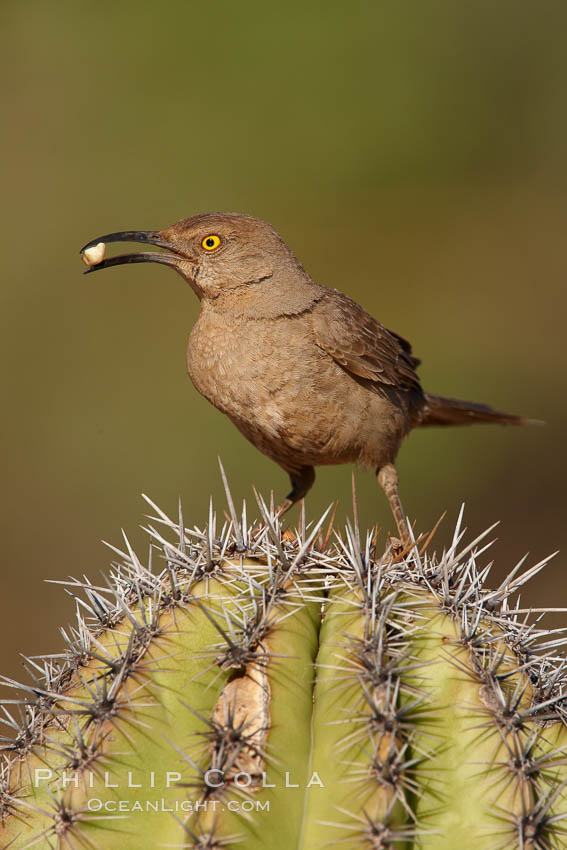 Curve-billed thrasher. Amado, Arizona, USA, Toxostoma curvirostre, natural history stock photograph, photo id 22904