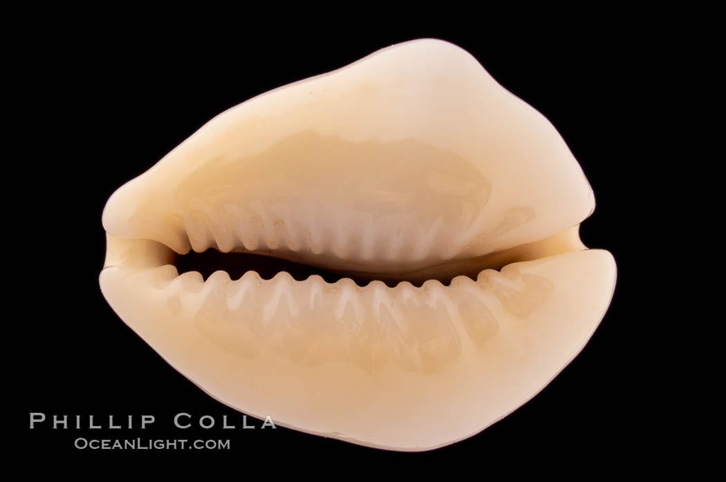 Image 08626, Money Cowrie., Cypraea moneta barthelemyi, Phillip Colla, all rights reserved worldwide. Keywords: cowries, cypraea moneta barthelemyi, money cowrie, shells.
