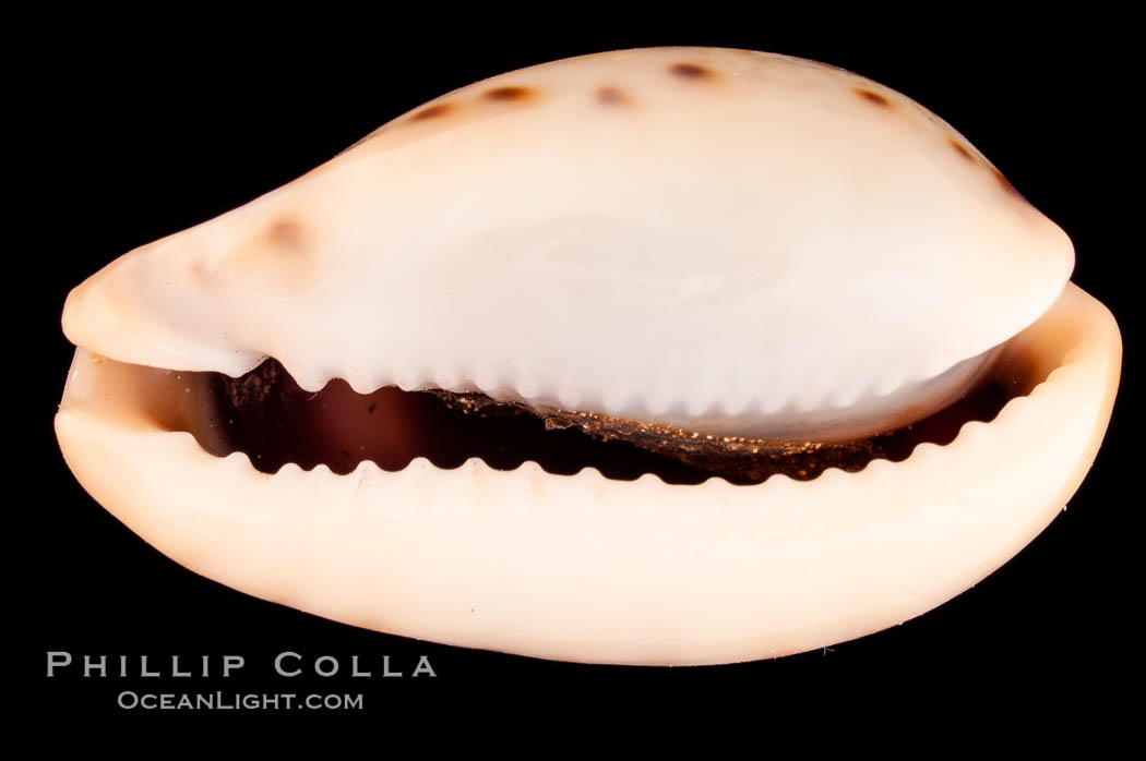 Pale Cowrie., Cypraea pallida insulicola, natural history stock photograph, photo id 08123