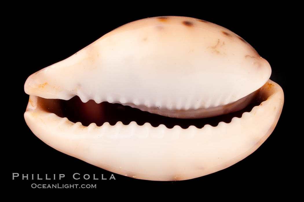 Pale Cowrie., Cypraea pallida, natural history stock photograph, photo id 08014