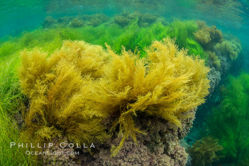 Stephanocystis dioica (yellow) and surfgrass (green), shallow water, San Clemente Island. San Clemente Island, California, USA, Phyllospadix, Stephanocystis dioica, natural history stock photograph, photo id 30946