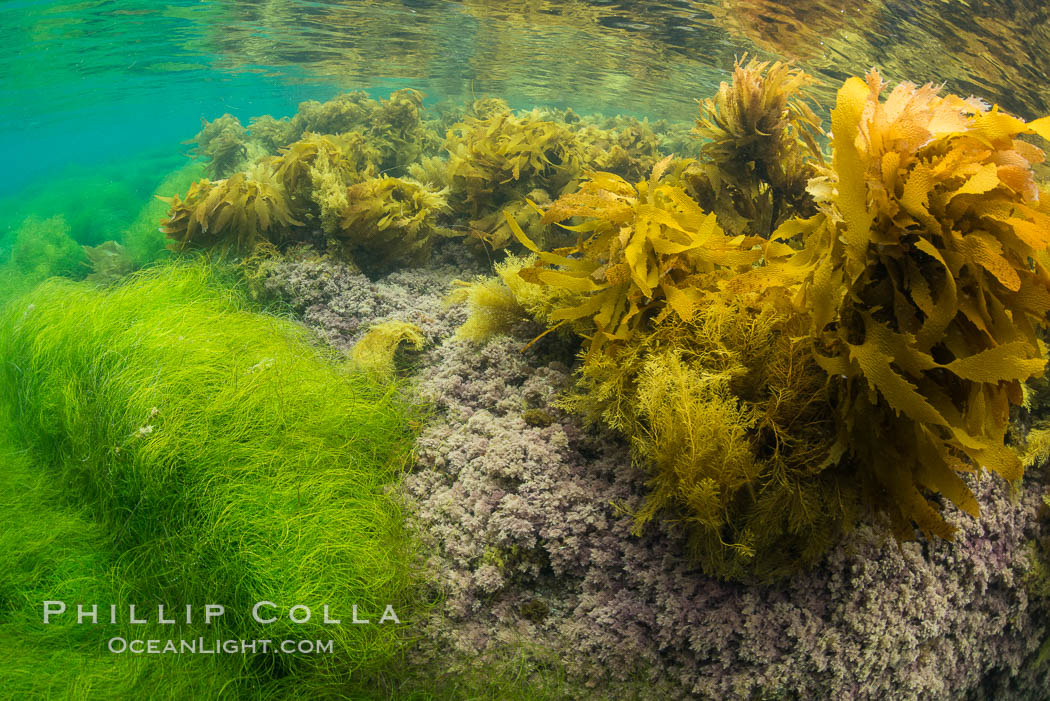 Stephanocystis dioica (lighter yellow), southern sea palm (darker yellow) and surfgrass (green), shallow water, San Clemente Island. San Clemente Island, California, USA, Eisenia arborea, Phyllospadix, Stephanocystis dioica, natural history stock photograph, photo id 30949