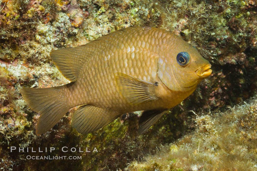 Unidentified damselfish, Sea of Cortez. Sea of Cortez, Baja California, Mexico, natural history stock photograph, photo id 27480