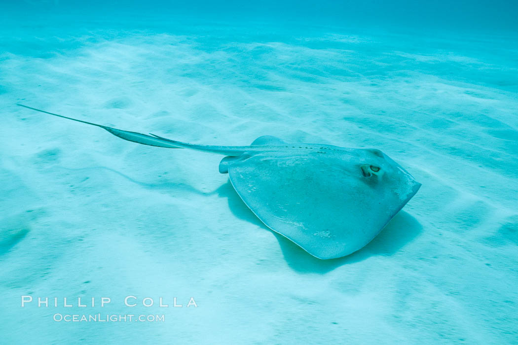 Southern stingray. Bahamas, Dasyatis americana, natural history stock photograph, photo id 05002