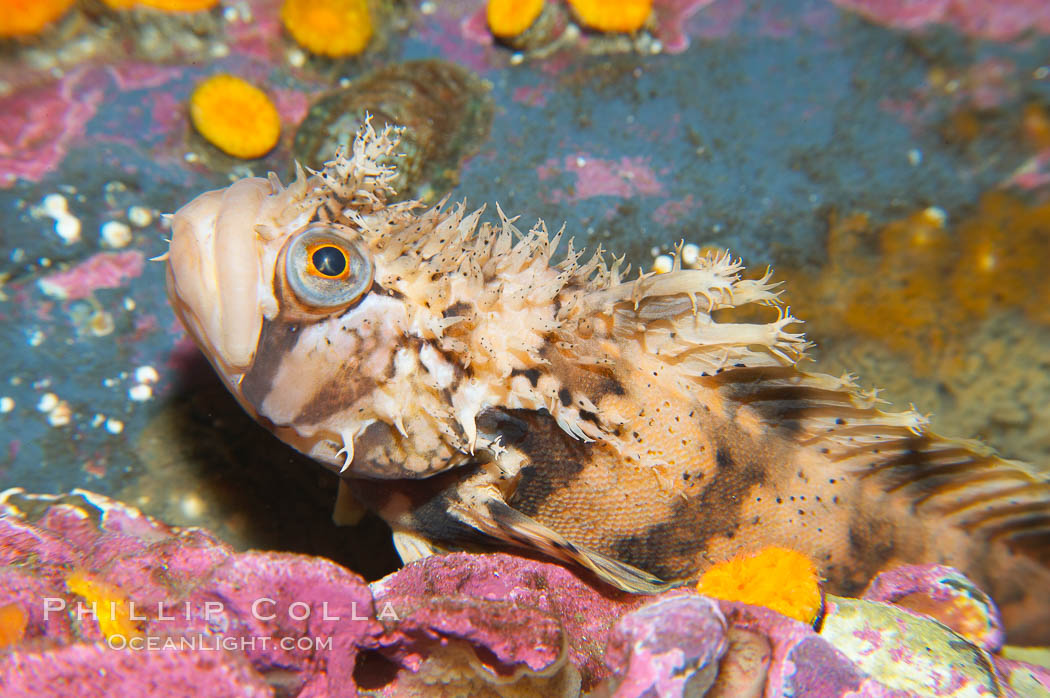 Decorated warbonnet.  The elaborate cirri on the warbonnets head may help to camoflage it among the rocks and crevices that it inhabits., Chirolophis decoratus, natural history stock photograph, photo id 13705