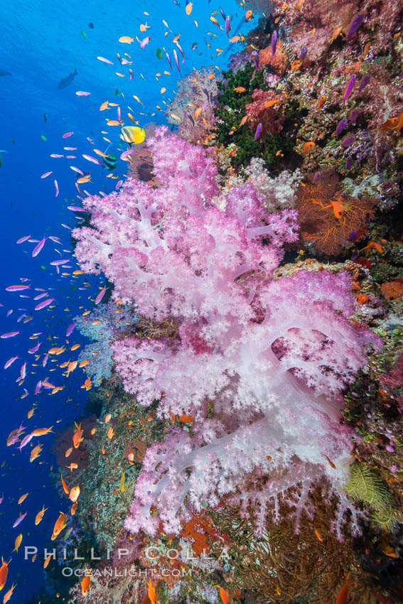 Colorful Dendronephthya soft coral and schooling Anthias fish on coral reef, Fiji. Vatu I Ra Passage, Bligh Waters, Viti Levu  Island, Fiji, Dendronephthya, Pseudanthias, natural history stock photograph, photo id 31349