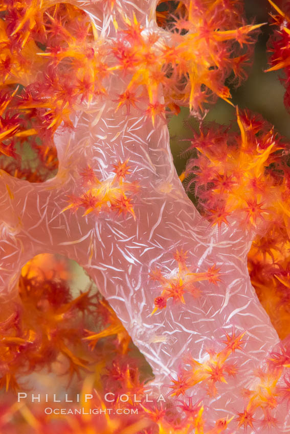 Dendronephthya soft coral detail including polyps and calcium carbonate spicules, Fiji. Fiji, Dendronephthya, natural history stock photograph, photo id 34744