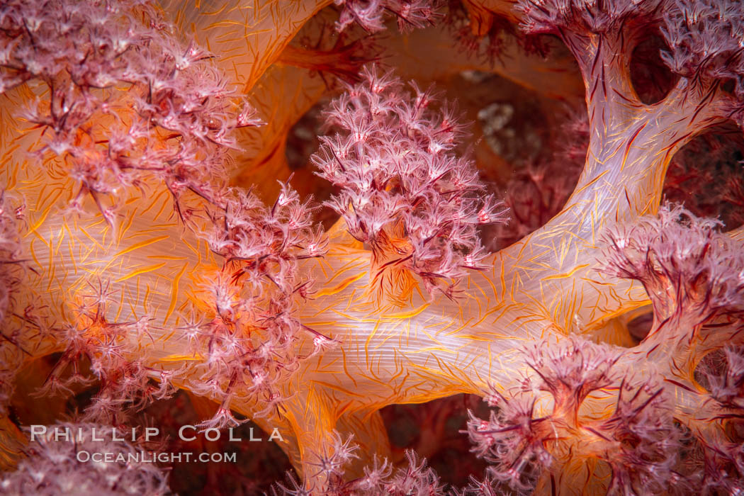 Dendronephthya soft coral detail including polyps and calcium carbonate spicules, Fiji. Namena Marine Reserve, Namena Island, Dendronephthya, natural history stock photograph, photo id 34715