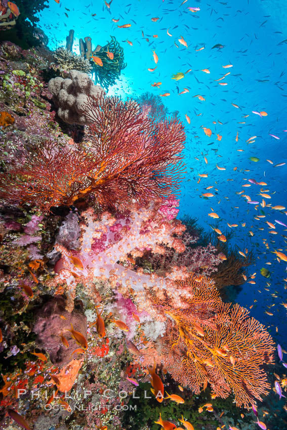 Image 31465, Colorful Dendronephthya soft corals and schooling Anthias fish on coral reef, Fiji. Vatu I Ra Passage, Bligh Waters, Viti Levu  Island, Fiji, Dendronephthya sp., Pseudanthias, Phillip Colla, all rights reserved worldwide. Keywords: actinopterygii, alcyonacea, animal, animalia, anthias, anthiinae, anthozoa, bligh waters, carnation coral, chordata, cnidaria, coral, coral reef, dendronephthya, fiji, fiji islands, fijian islands, fish, island, lyretail anthias, marine, marine invertebrate, nature, nephtheidae, oceania, pacific ocean, perciformes, pseudanthias squamipinnis, reef, school, serranidae, soft coral, south pacific, tree coral, tropical, underwater, vatu i ra, vatu i ra passage, viti levu.