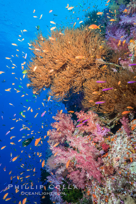 Colorful Dendronephthya soft corals, Black coral and schooling Anthias fish on coral reef, Fiji. Vatu I Ra Passage, Bligh Waters, Viti Levu  Island, Fiji, Dendronephthya, Pseudanthias, natural history stock photograph, photo id 31464