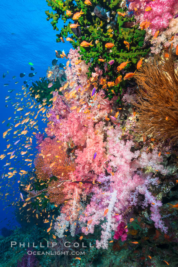 Vibrant Dendronephthya soft corals, green fan coral and schooling Anthias fish on coral reef, Fiji. Vatu I Ra Passage, Bligh Waters, Viti Levu  Island, Fiji, Dendronephthya, Pseudanthias, natural history stock photograph, photo id 31650