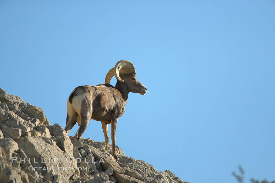 Desert bighorn sheep, male ram.  The desert bighorn sheep occupies dry, rocky mountain ranges in the Mojave and Sonoran desert regions of California, Nevada and Mexico.  The desert bighorn sheep is highly endangered in the United States, having a population of only about 4000 individuals, and is under survival pressure due to habitat loss, disease, over-hunting, competition with livestock, and human encroachment., Ovis canadensis nelsoni, natural history stock photograph, photo id 14658