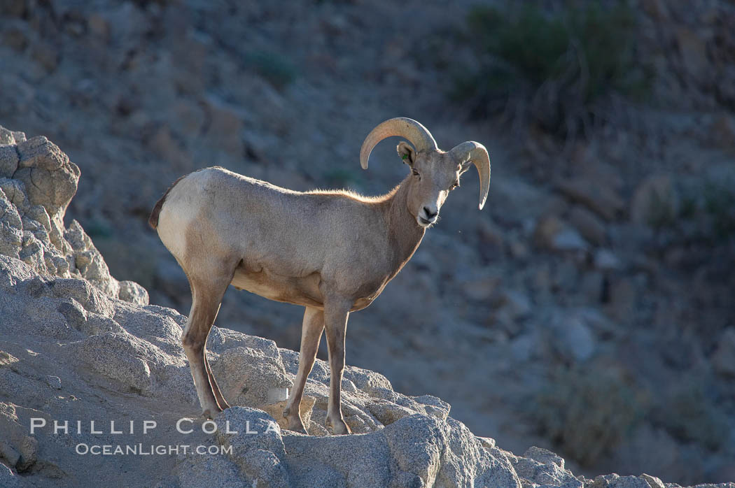 Desert bighorn sheep, young/immature male ram.  The desert bighorn sheep occupies dry, rocky mountain ranges in the Mojave and Sonoran desert regions of California, Nevada and Mexico.  The desert bighorn sheep is highly endangered in the United States, having a population of only about 4000 individuals, and is under survival pressure due to habitat loss, disease, over-hunting, competition with livestock, and human encroachment., Ovis canadensis nelsoni, natural history stock photograph, photo id 14652
