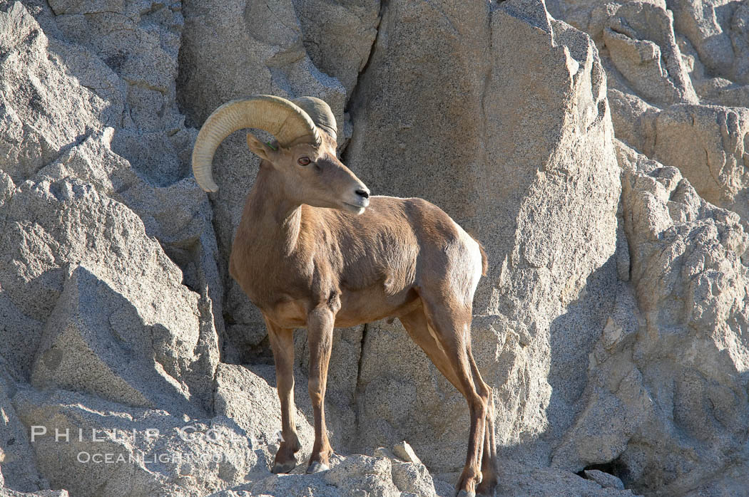 Desert bighorn sheep, male ram.  The desert bighorn sheep occupies dry, rocky mountain ranges in the Mojave and Sonoran desert regions of California, Nevada and Mexico.  The desert bighorn sheep is highly endangered in the United States, having a population of only about 4000 individuals, and is under survival pressure due to habitat loss, disease, over-hunting, competition with livestock, and human encroachment., Ovis canadensis nelsoni, natural history stock photograph, photo id 14660