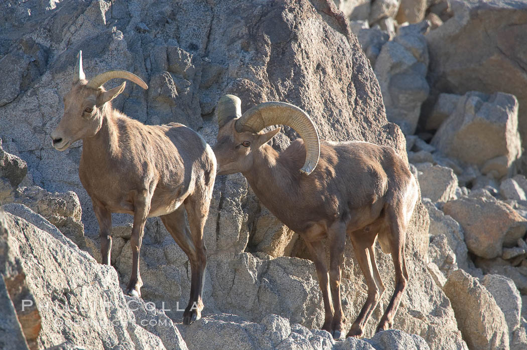 Desert bighorn sheep, male ram and female ewe.  The desert bighorn sheep occupies dry, rocky mountain ranges in the Mojave and Sonoran desert regions of California, Nevada and Mexico.  The desert bighorn sheep is highly endangered in the United States, having a population of only about 4000 individuals, and is under survival pressure due to habitat loss, disease, over-hunting, competition with livestock, and human encroachment., Ovis canadensis nelsoni, natural history stock photograph, photo id 14663