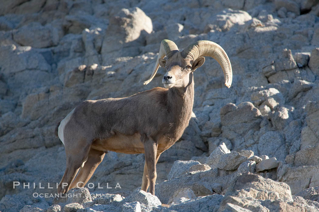 Desert bighorn sheep, male ram.  The desert bighorn sheep occupies dry, rocky mountain ranges in the Mojave and Sonoran desert regions of California, Nevada and Mexico.  The desert bighorn sheep is highly endangered in the United States, having a population of only about 4000 individuals, and is under survival pressure due to habitat loss, disease, over-hunting, competition with livestock, and human encroachment., Ovis canadensis nelsoni, natural history stock photograph, photo id 14653