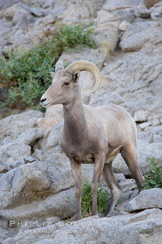 Desert bighorn sheep, young/immature male ram.  The desert bighorn sheep occupies dry, rocky mountain ranges in the Mojave and Sonoran desert regions of California, Nevada and Mexico.  The desert bighorn sheep is highly endangered in the United States, having a population of only about 4000 individuals, and is under survival pressure due to habitat loss, disease, over-hunting, competition with livestock, and human encroachment., Ovis canadensis nelsoni, natural history stock photograph, photo id 14657