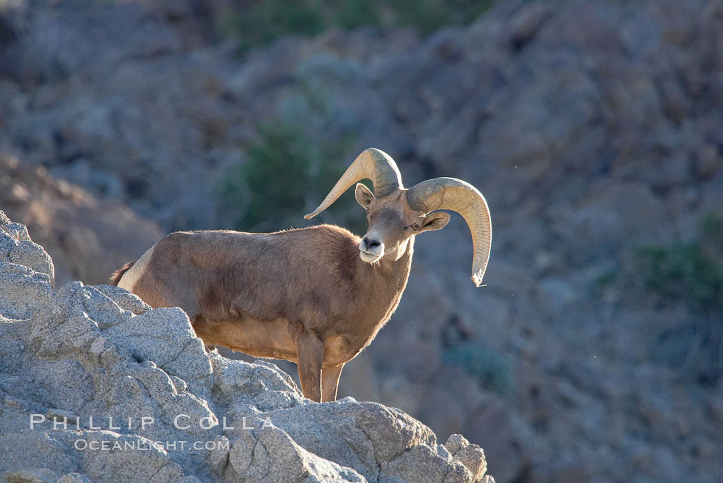 Desert bighorn sheep, male ram.  The desert bighorn sheep occupies dry, rocky mountain ranges in the Mojave and Sonoran desert regions of California, Nevada and Mexico.  The desert bighorn sheep is highly endangered in the United States, having a population of only about 4000 individuals, and is under survival pressure due to habitat loss, disease, over-hunting, competition with livestock, and human encroachment., Ovis canadensis nelsoni, natural history stock photograph, photo id 14665