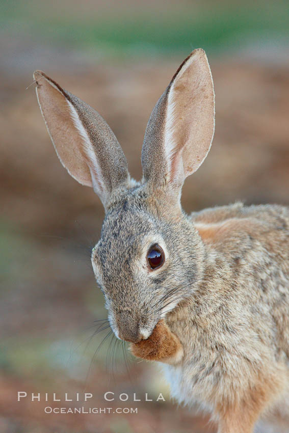 Desert cottontail, or Audubon's cottontail rabbit. Amado, Arizona, USA, Sylvilagus audubonii, natural history stock photograph, photo id 22942