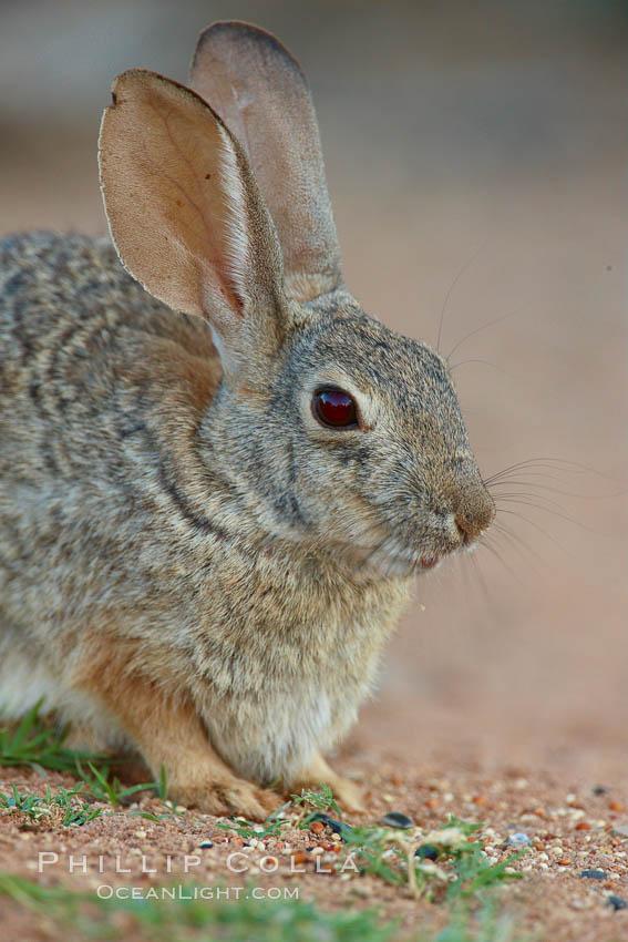 Desert cottontail, or Audubon's cottontail rabbit. Amado, Arizona, USA, Sylvilagus audubonii, natural history stock photograph, photo id 23004